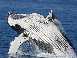 Could your company helps us protect these wonderful animals? Humpback whale breaching.