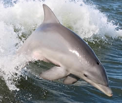 Dolphin in the sea - Please help us protect dolphins