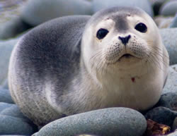 Help our sister organisation SPAG protect seals