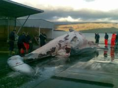 Whaling 2009compressed