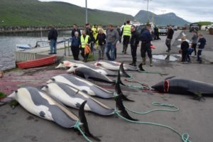 dolphins killed in Faroes Jun 2017